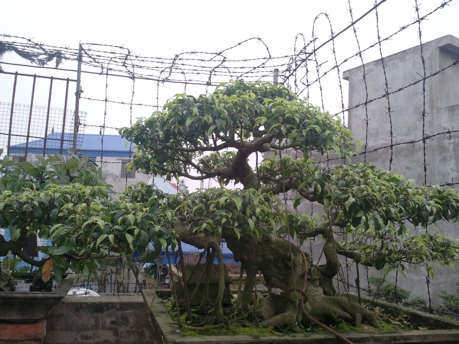 500 - Sanh bonsai