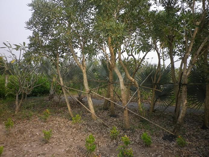 324 - cây chuông vàng