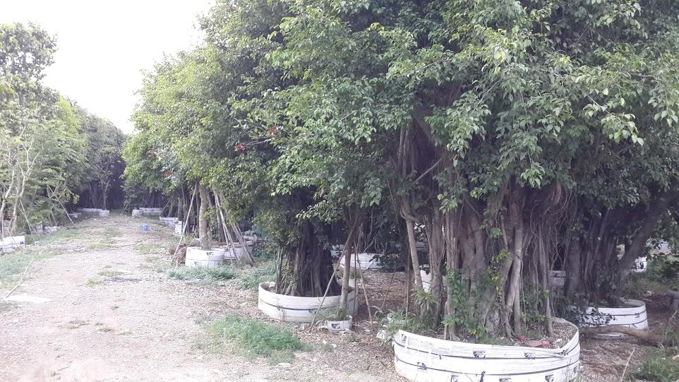 400 B - Vườn cây Sanh cổ thụ