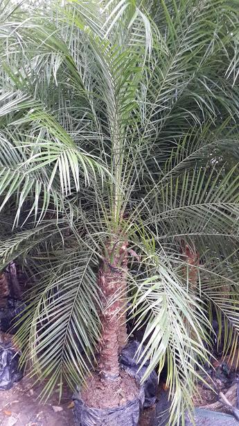 269 - Cau Nga mi