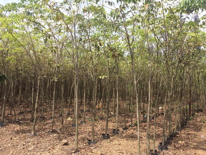 334 - Vườn ươm cây Dáng hương