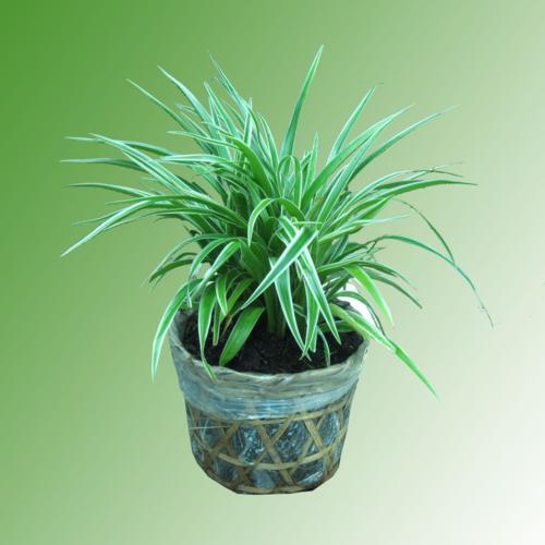 cỏ Lan chi