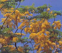 Osaka vàng
