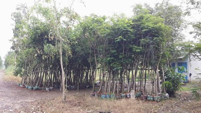 330 - Vườn ươm cây Lim xẹc